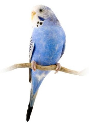 Blue Budgie Tony Abbott