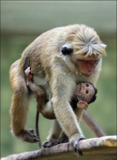 Macaque Monkey Baby