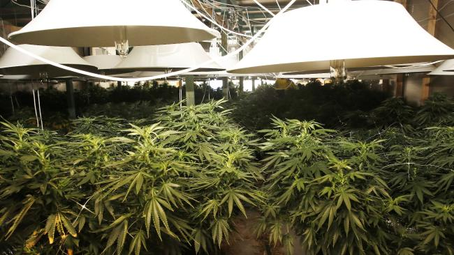 Marijuana Factory in Riverstone