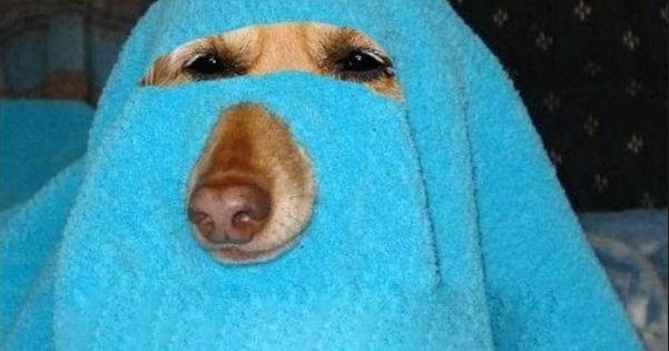 Muslim Labradors