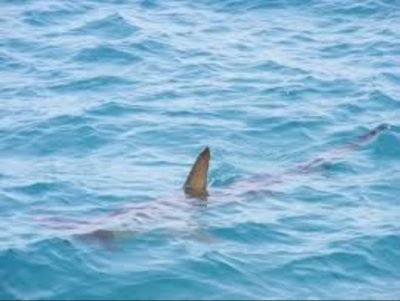 shark-spotted-in-sea